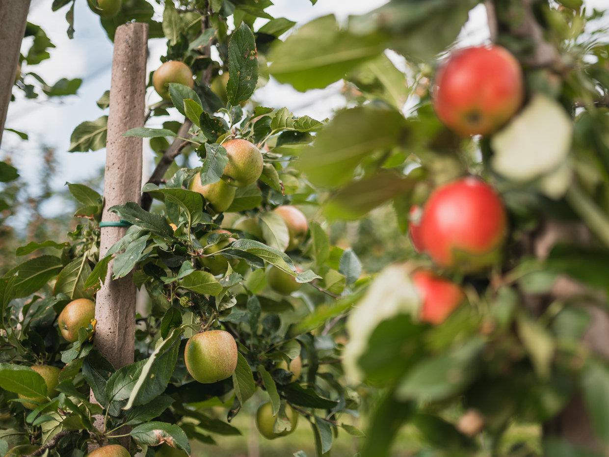 Il futuro della mela