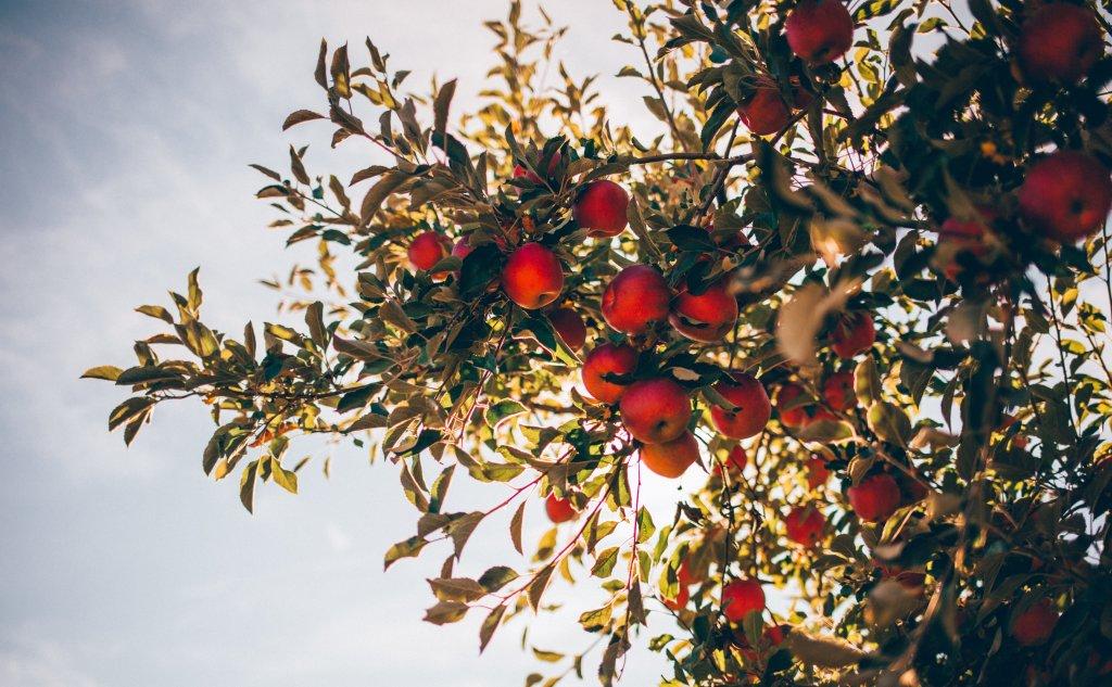 Slower ripening, better apples